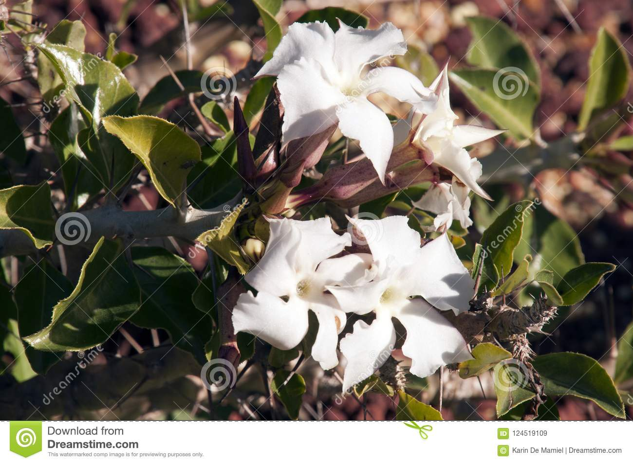 Euphorbia Branch With White Flowers In Gardens Stock Image Image