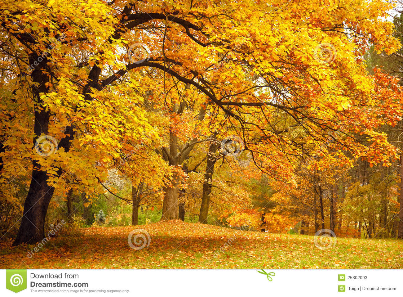 Download Autumn / Gold Trees In A Park Stock Image - Image of park, fall: 25802093