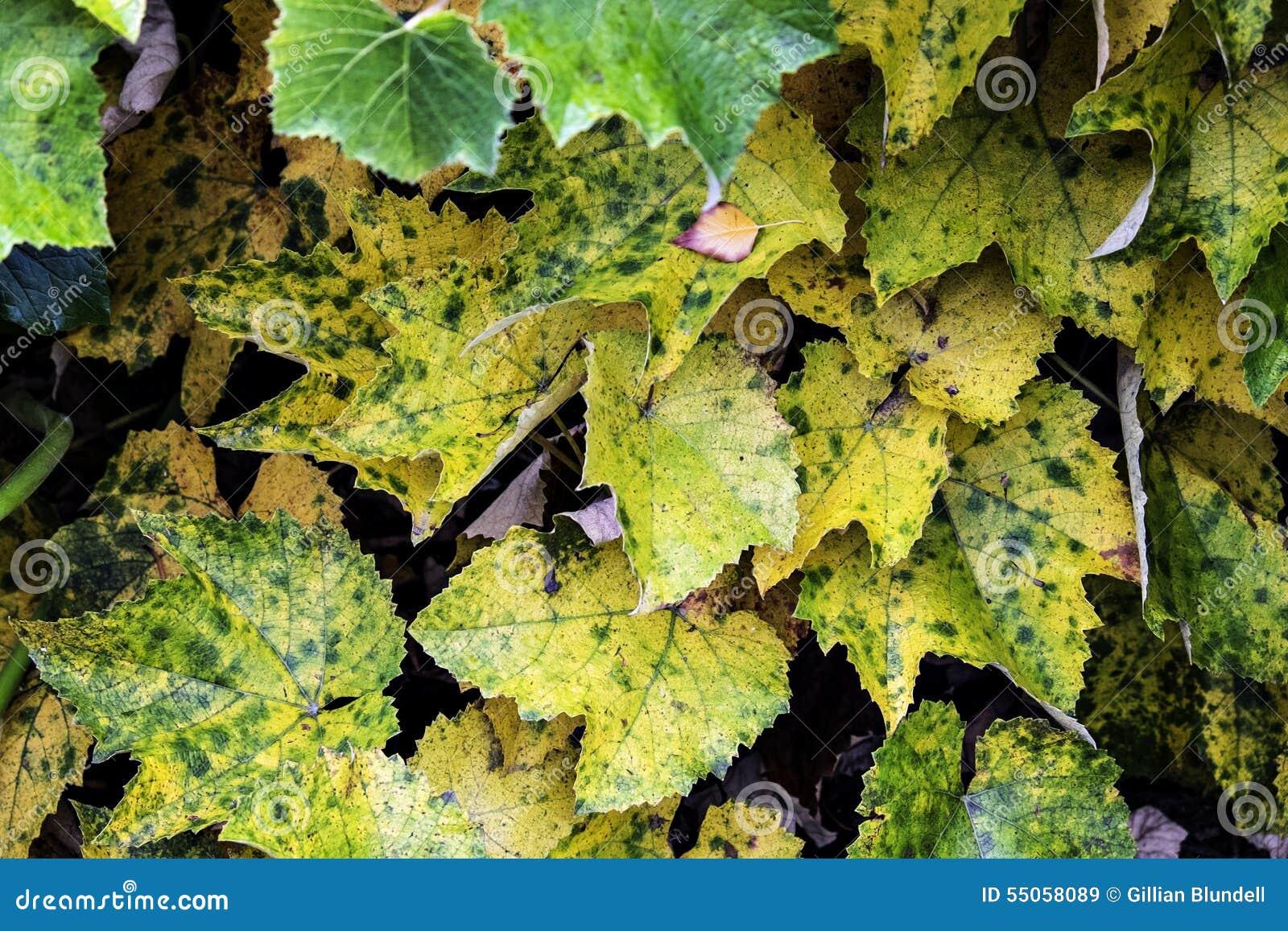 Autumn Grape-Blätter Drehend Gelb Stockbild - Bild von blätter ...