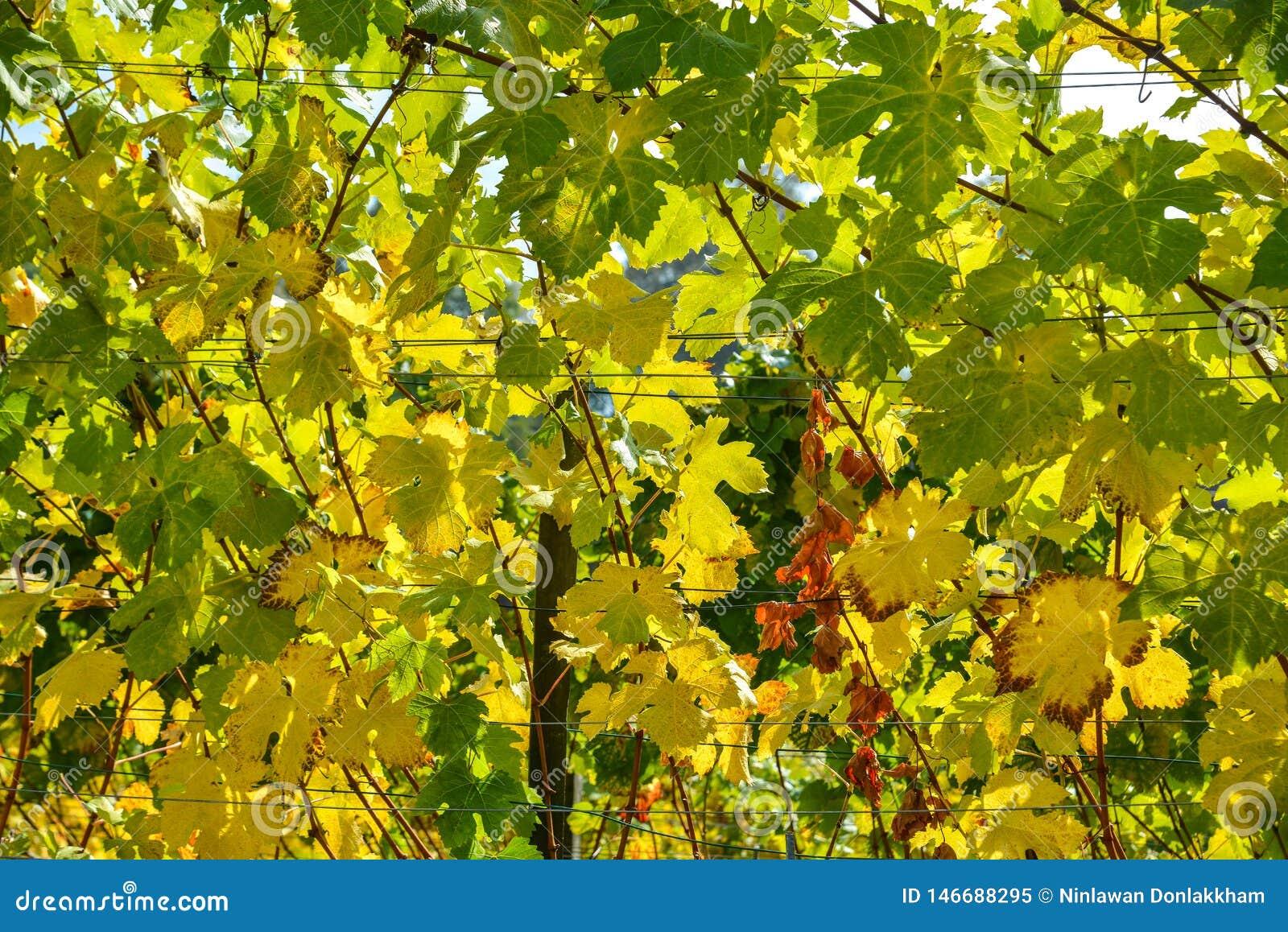 Autumn Grapes avec les feuilles jaunes