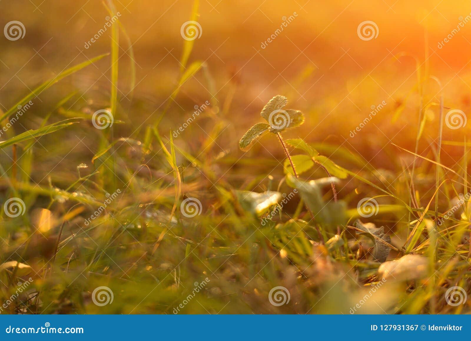 Autumn grass in sunset sunshine. Green yellow orange abstract nature blurred background. Macro, bokeh