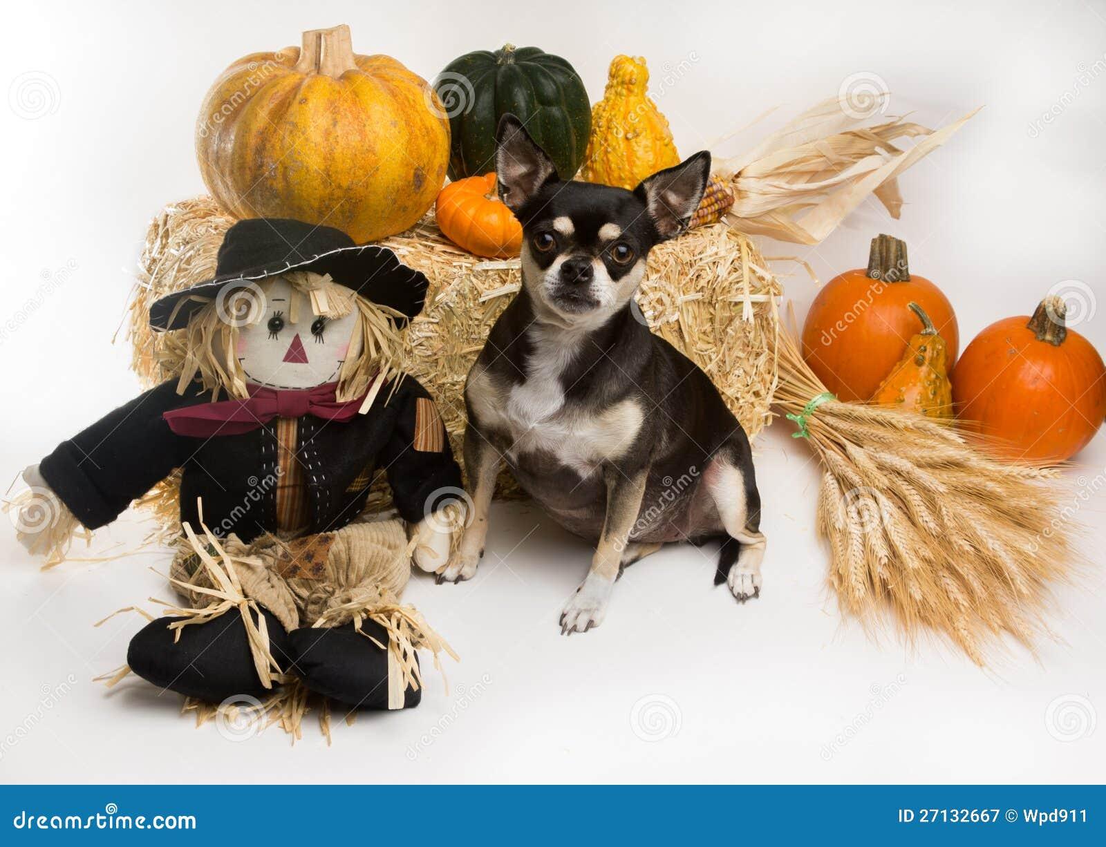 Autumn Harvest Chihuahua