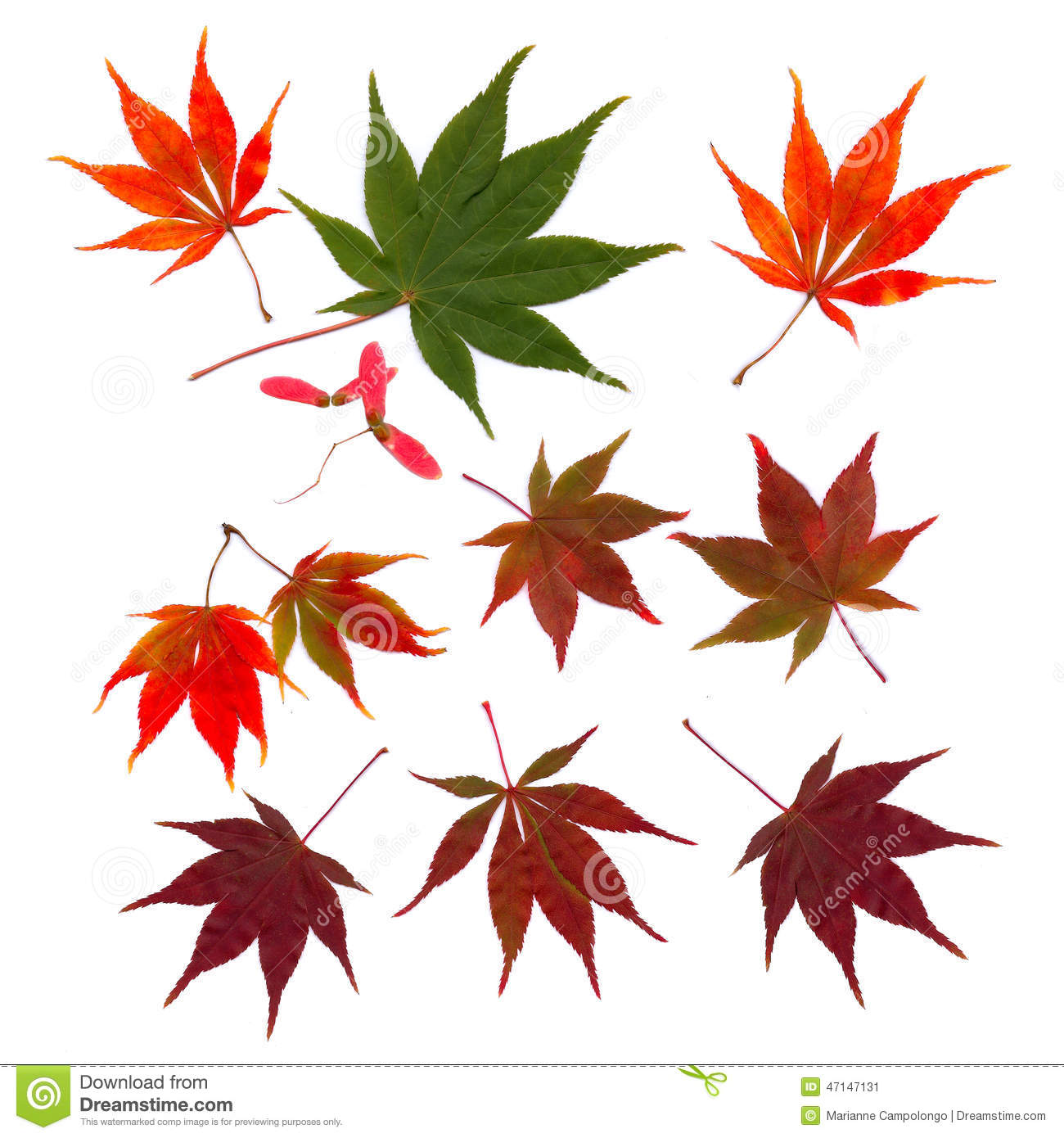Autumn japanese maple leaves fall cut outs stock image Japanese maple leaf