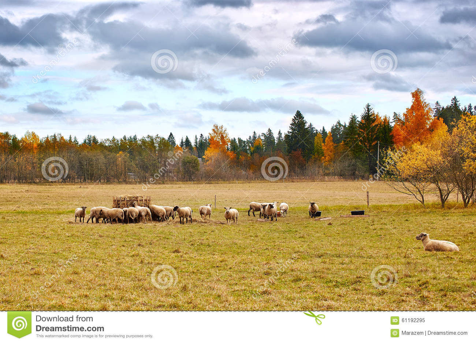Autumn Landscape con las ovejas
