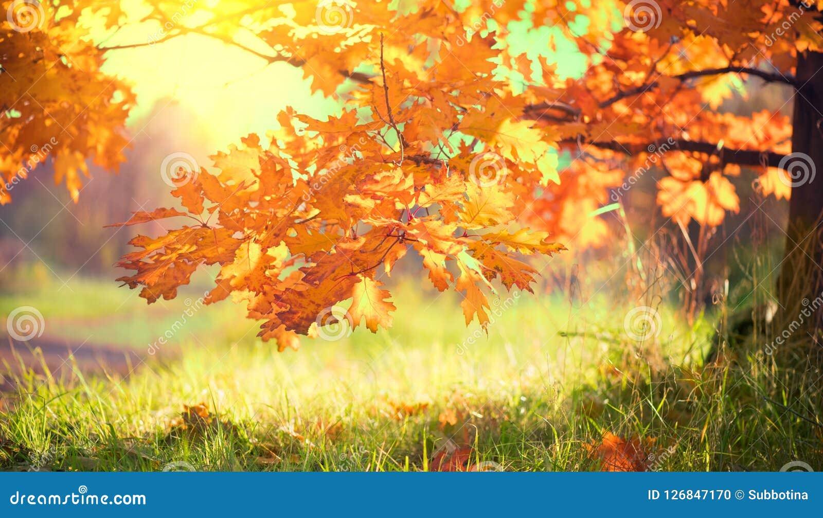 Autumn Landscape Daling Kleurrijke bladeren op een eik in herfstpark