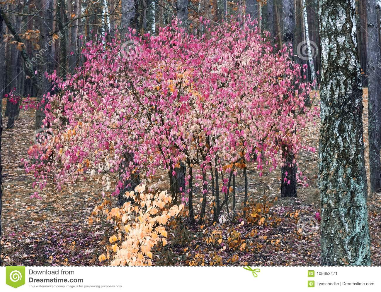 Autumn Landscape In The Forest With A Shrub With Red Leaves Stock