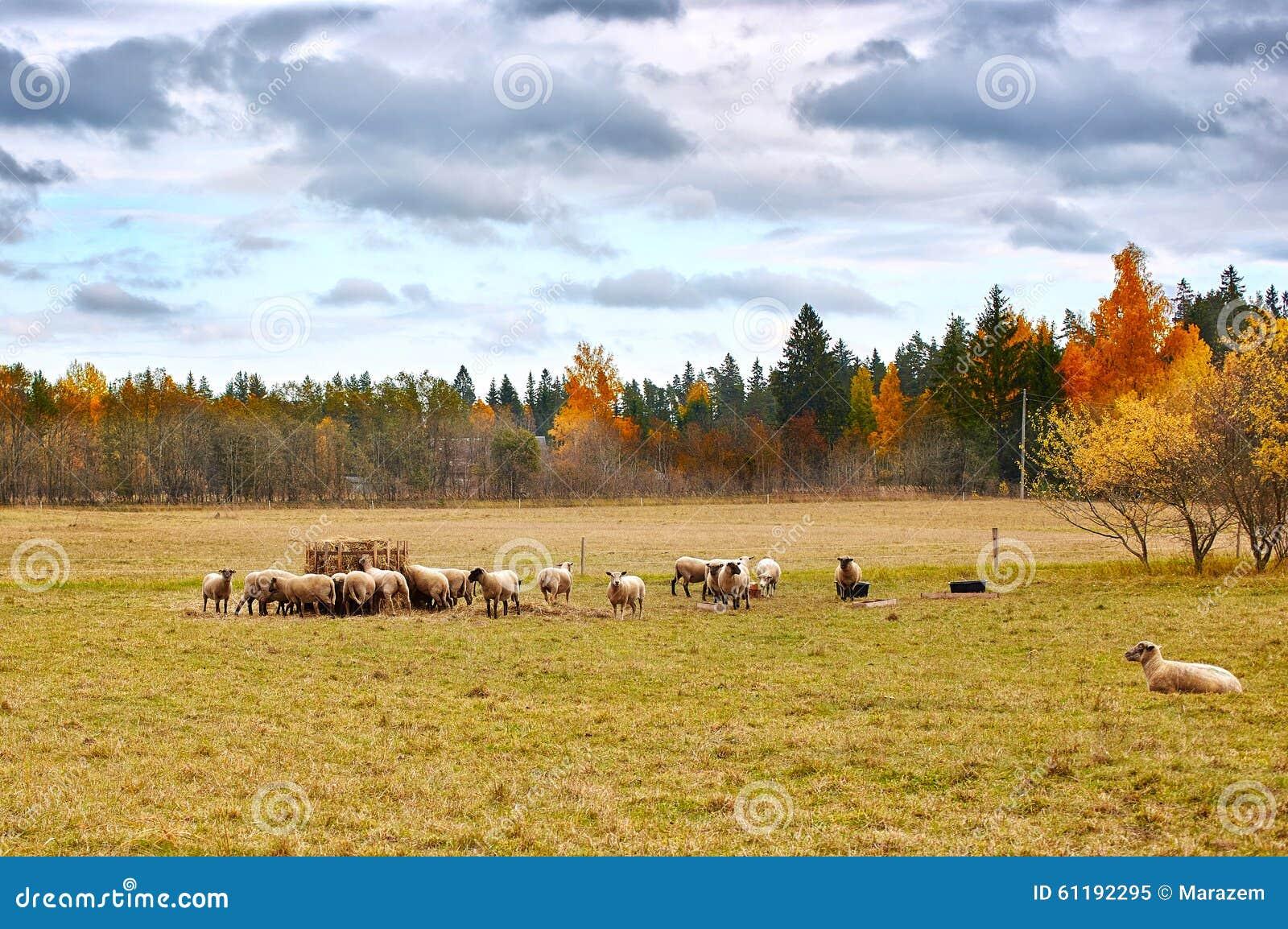 Autumn Landscape med får