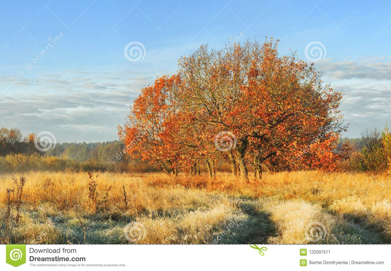 Autumn landscape of nature in october clear morning. Tree with red leaves on meadow covered yellow grass on bright sunny day. Fall