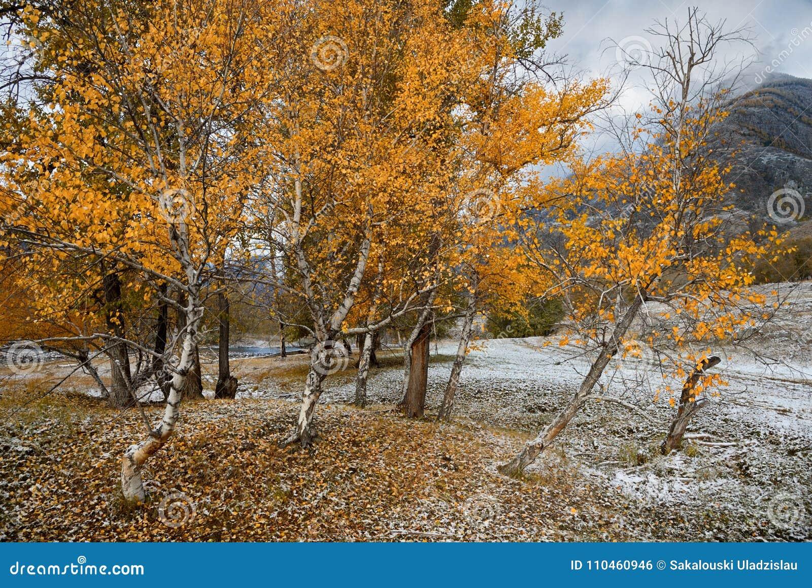 Autumn Landscape With per gruppen av björkar med ljus gul lövverk och nytt stupad snö Berg Autumn Landscape With First S