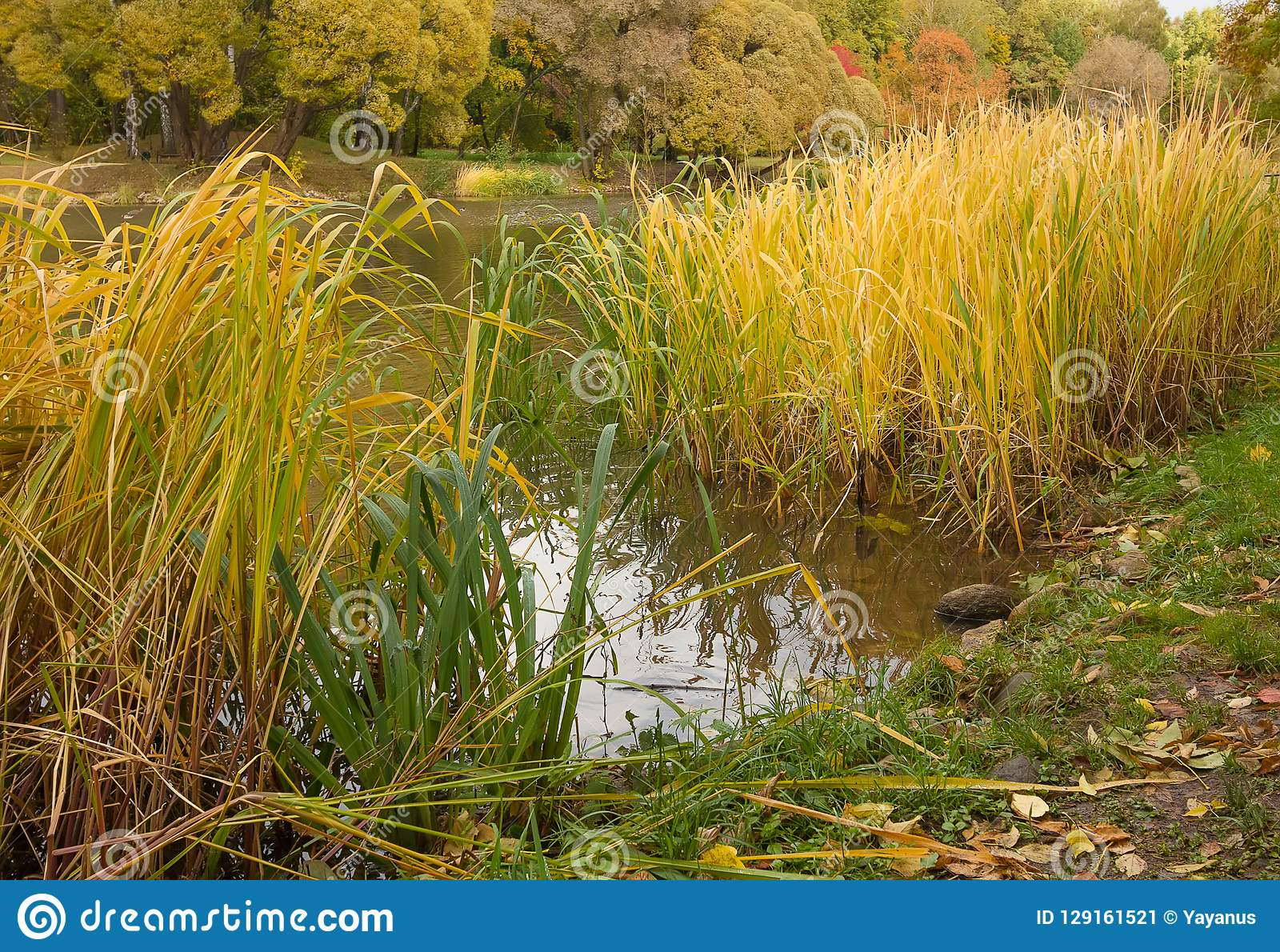 Autumn Landscape. Tall Yellow Grass On Pond In Park. Stock ...