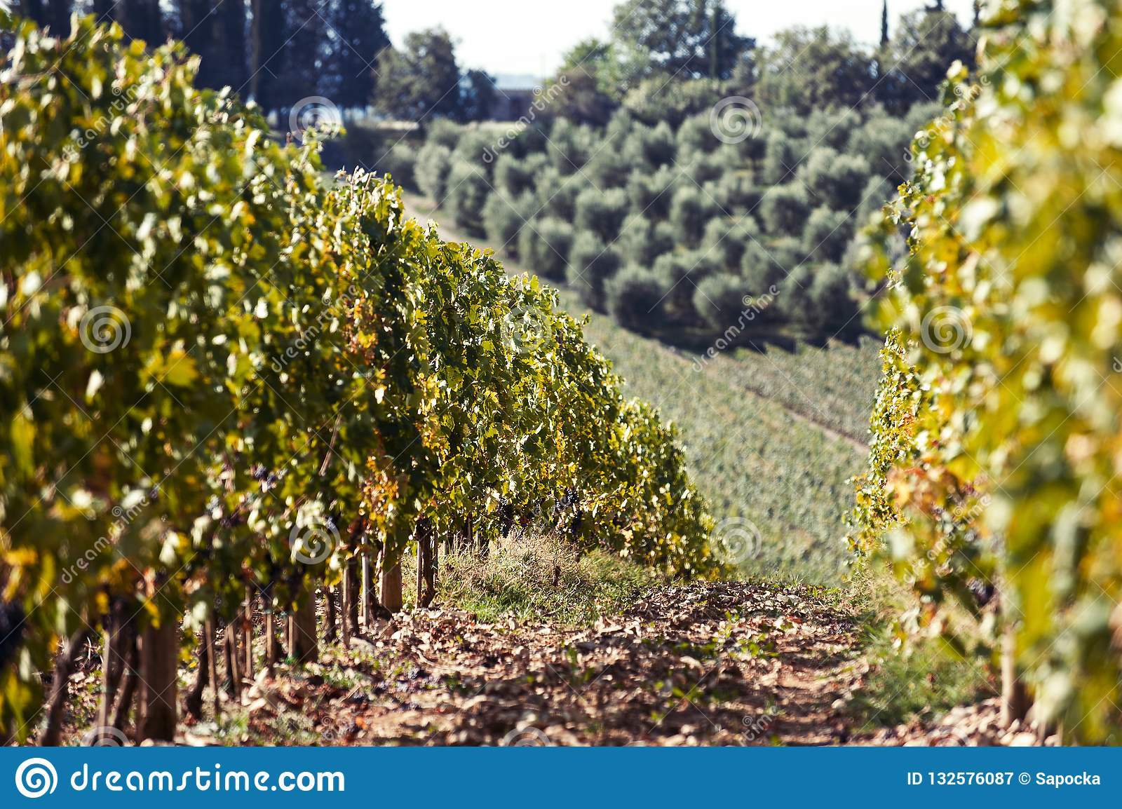 Landscape with valleys of Tuscanian vineyard in Italy