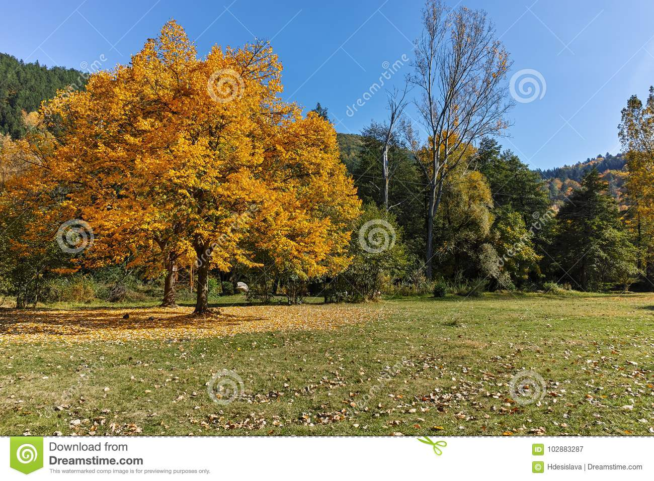 Autumn Landscape with yellow tree near Pancharevo lake, Sofia city Region