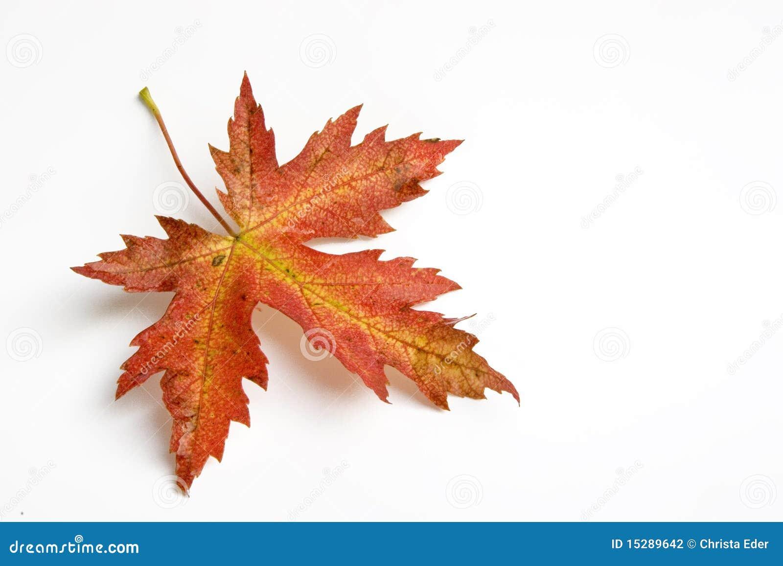 autumn leaf stock photo  image of foliage  leaf  isolation