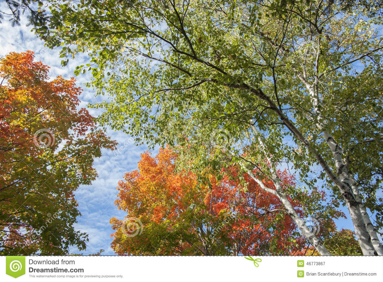 Autumn Leaf Colors On Silver Birch Tree. Stock Photo