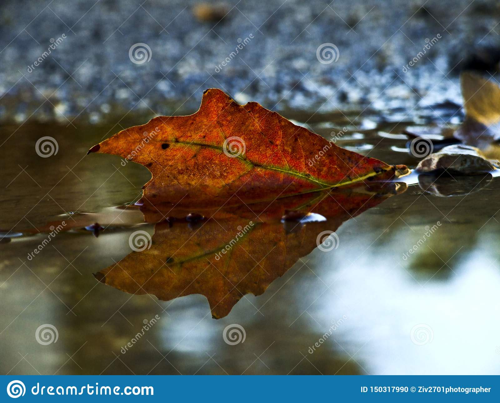Autumn leaf reflected in a puddle of water