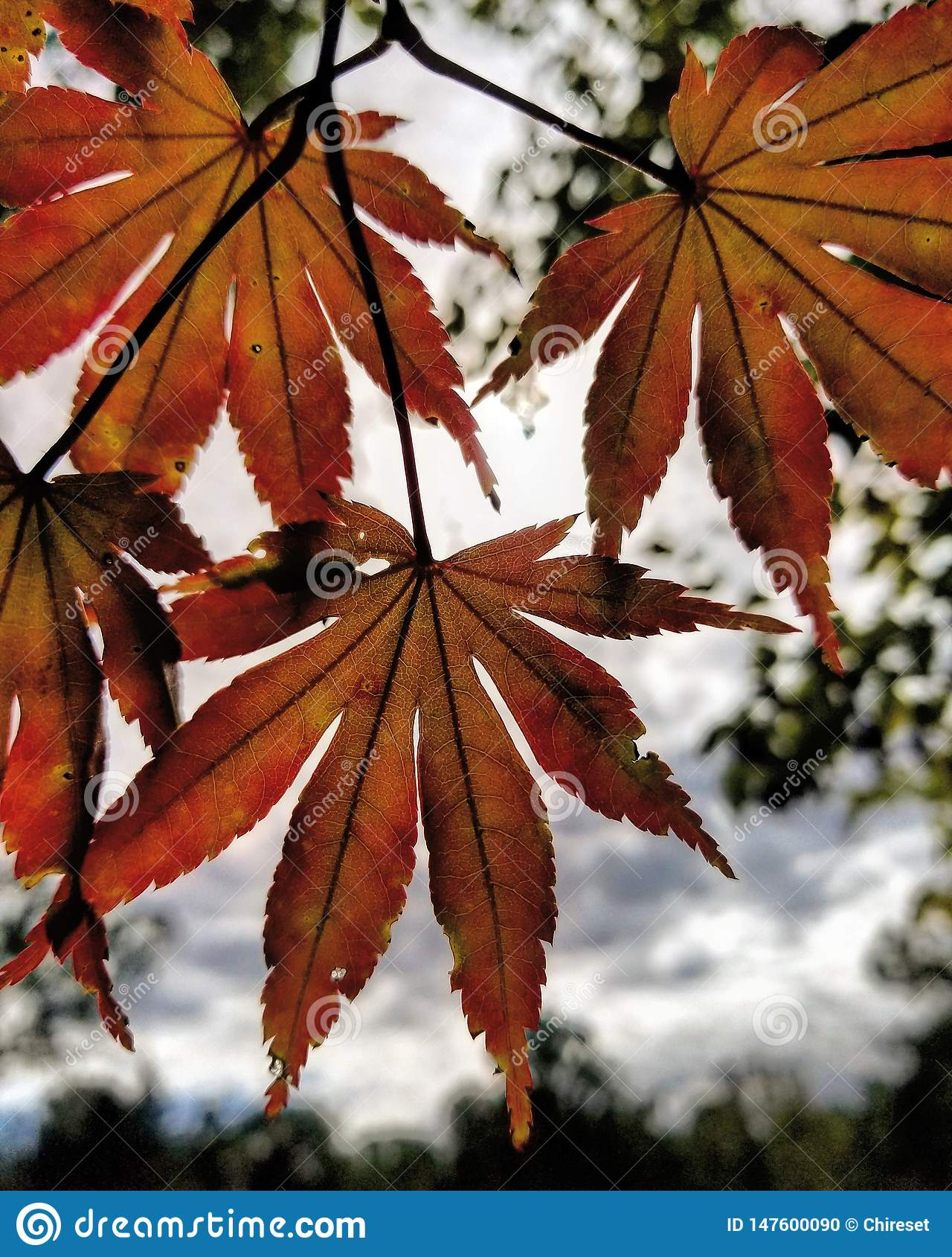 Autumn leaves against the clouds