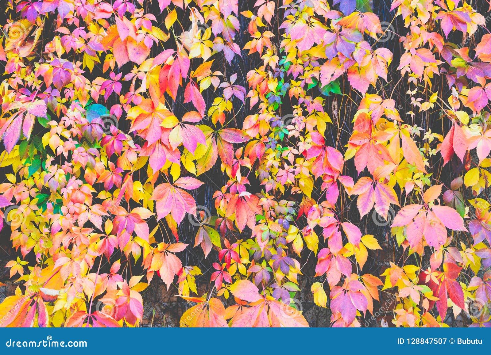 Autumn Leaves Background El tiro macro de la hiedra sale de o rojo de torneado