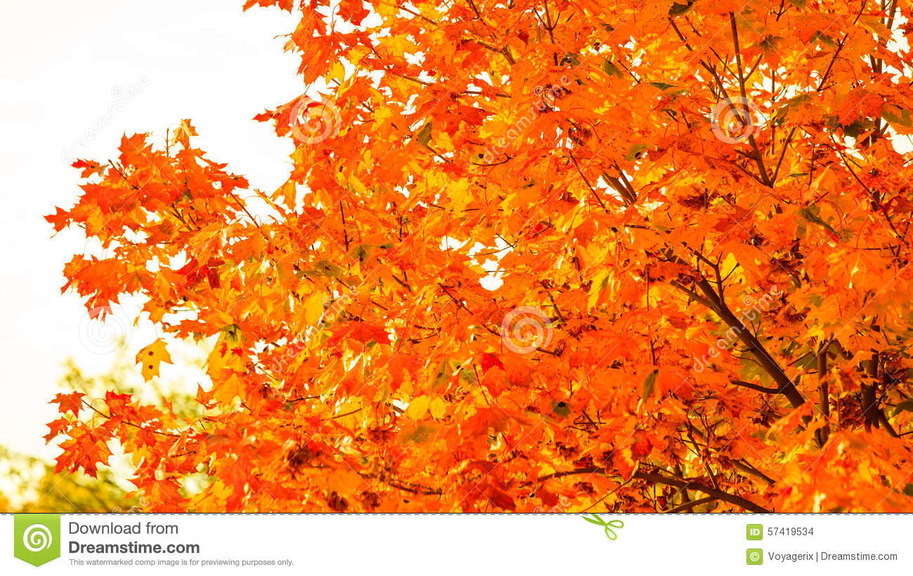 autumn leaves fall trees nature background stock photo