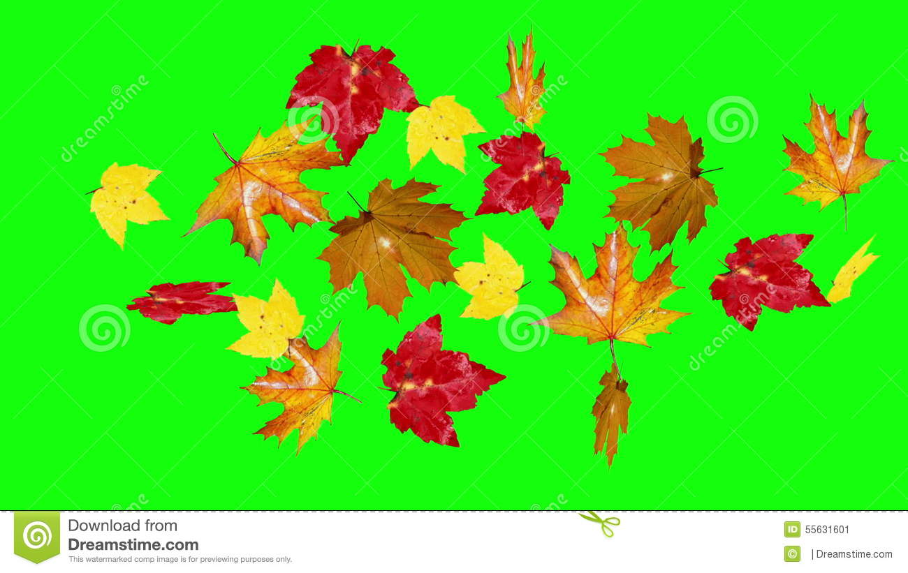 Autumn Leaves Falling Green Screen Stock Video Video Of Botany Autumnal 55631601