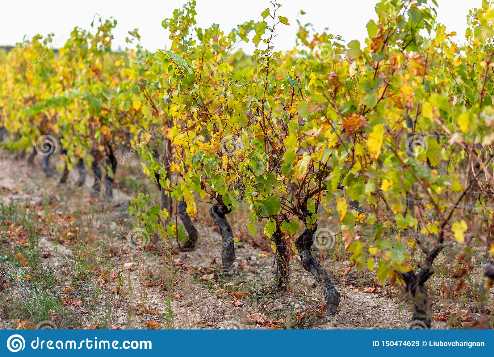 Autumn leaves of grapes. Grapevine in the fall. Autumn vineyard.