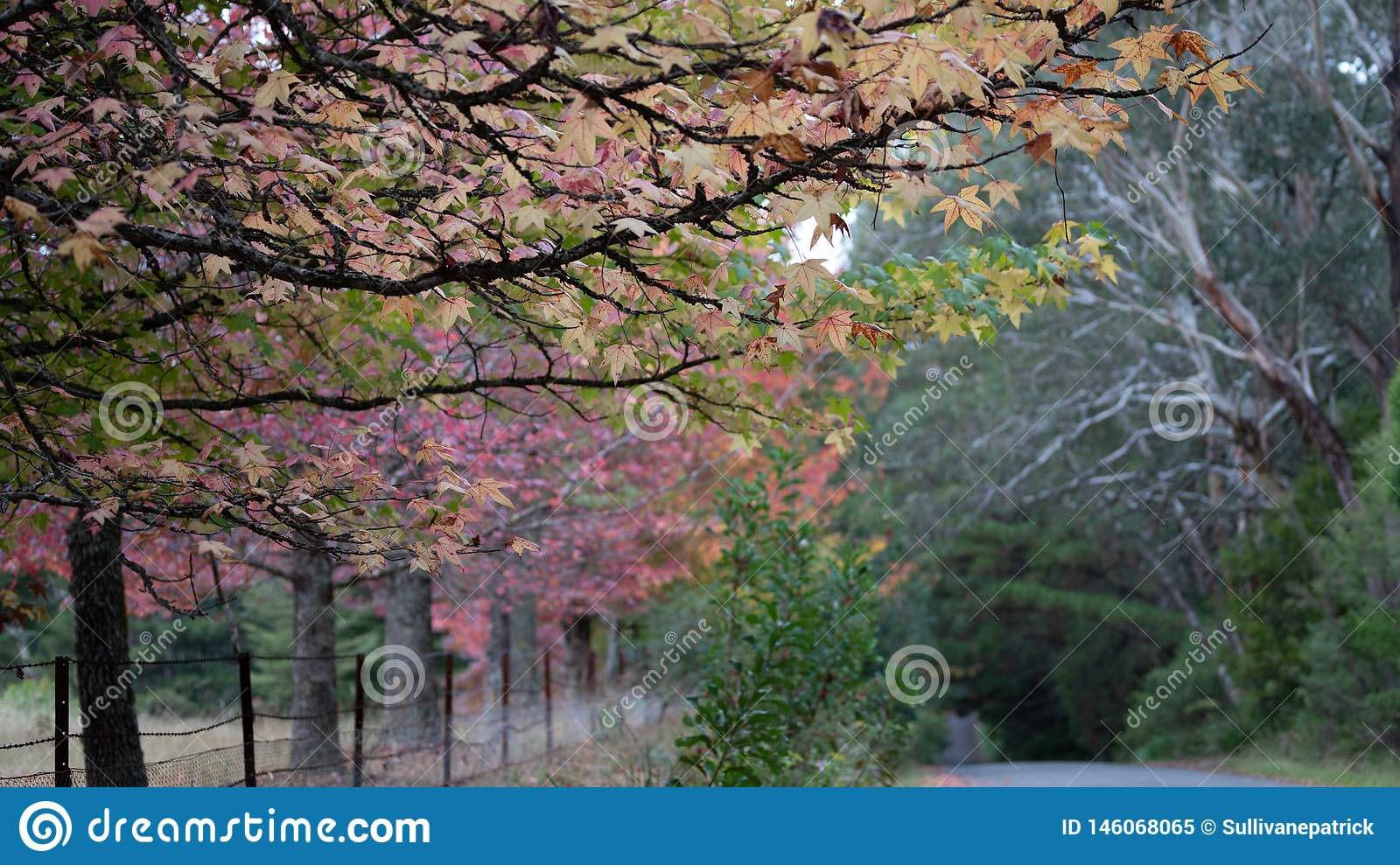Autumn leaves on a maple tree