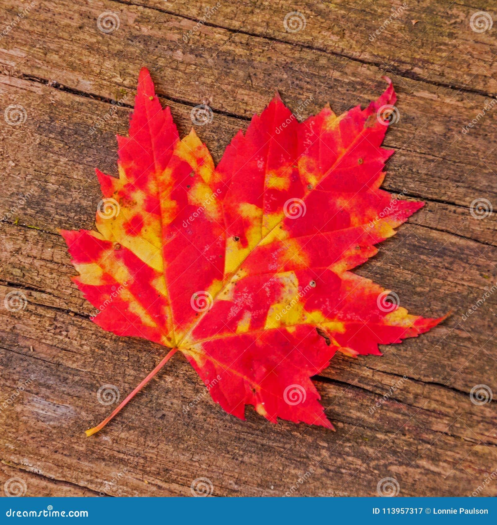 Autumn Maple Leaf en el fondo de madera