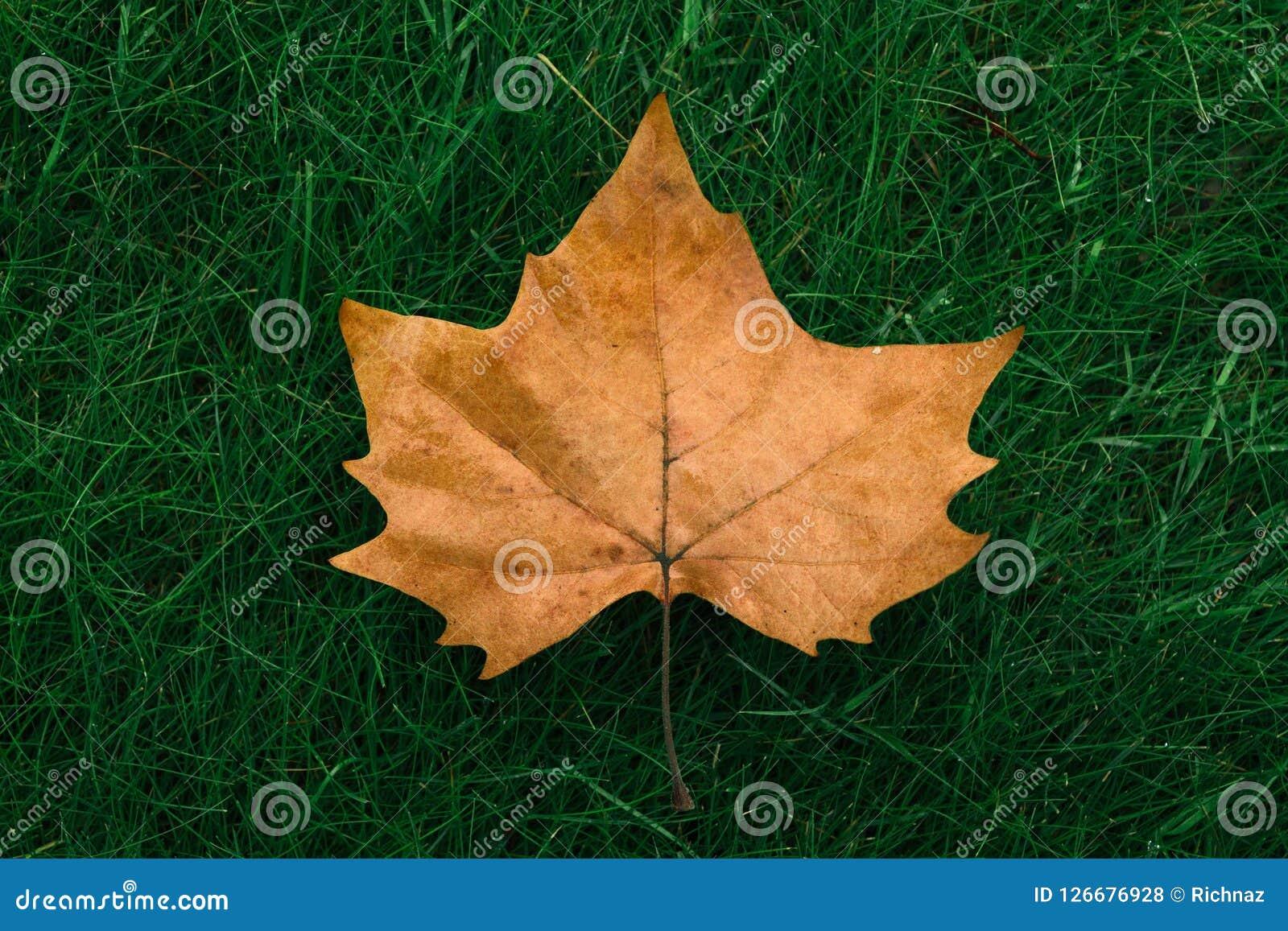 Autumn maple leaf on green grass