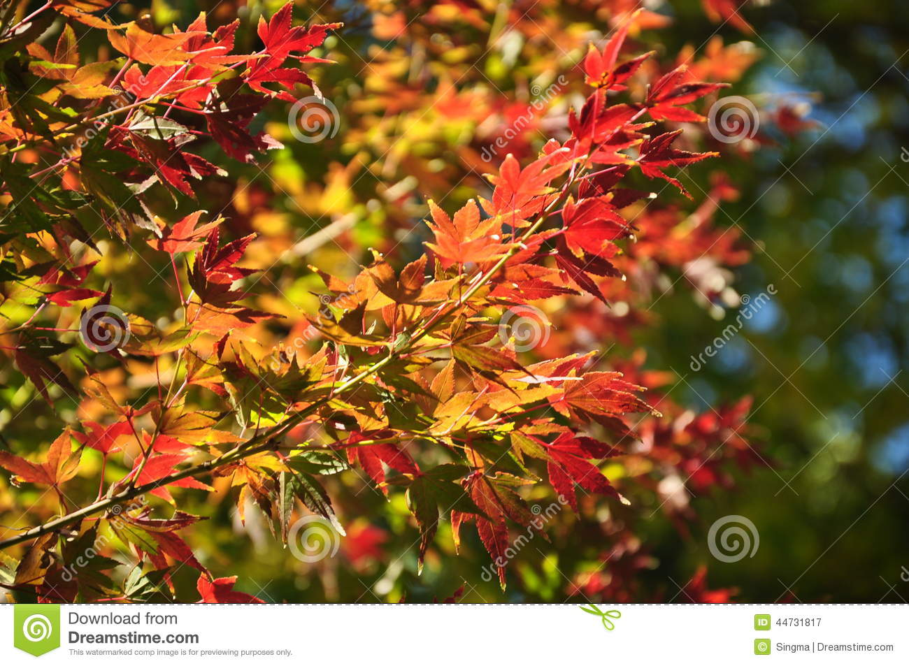 Furniture Warehouse Kitchener Maple Leaves Mixed Fall Colors 28 Images Maple Leaves
