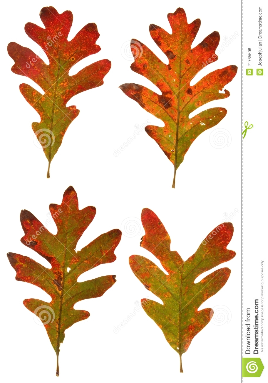 Autumn Oak Leaves Royalty Free Stock Image - Image: 21765506