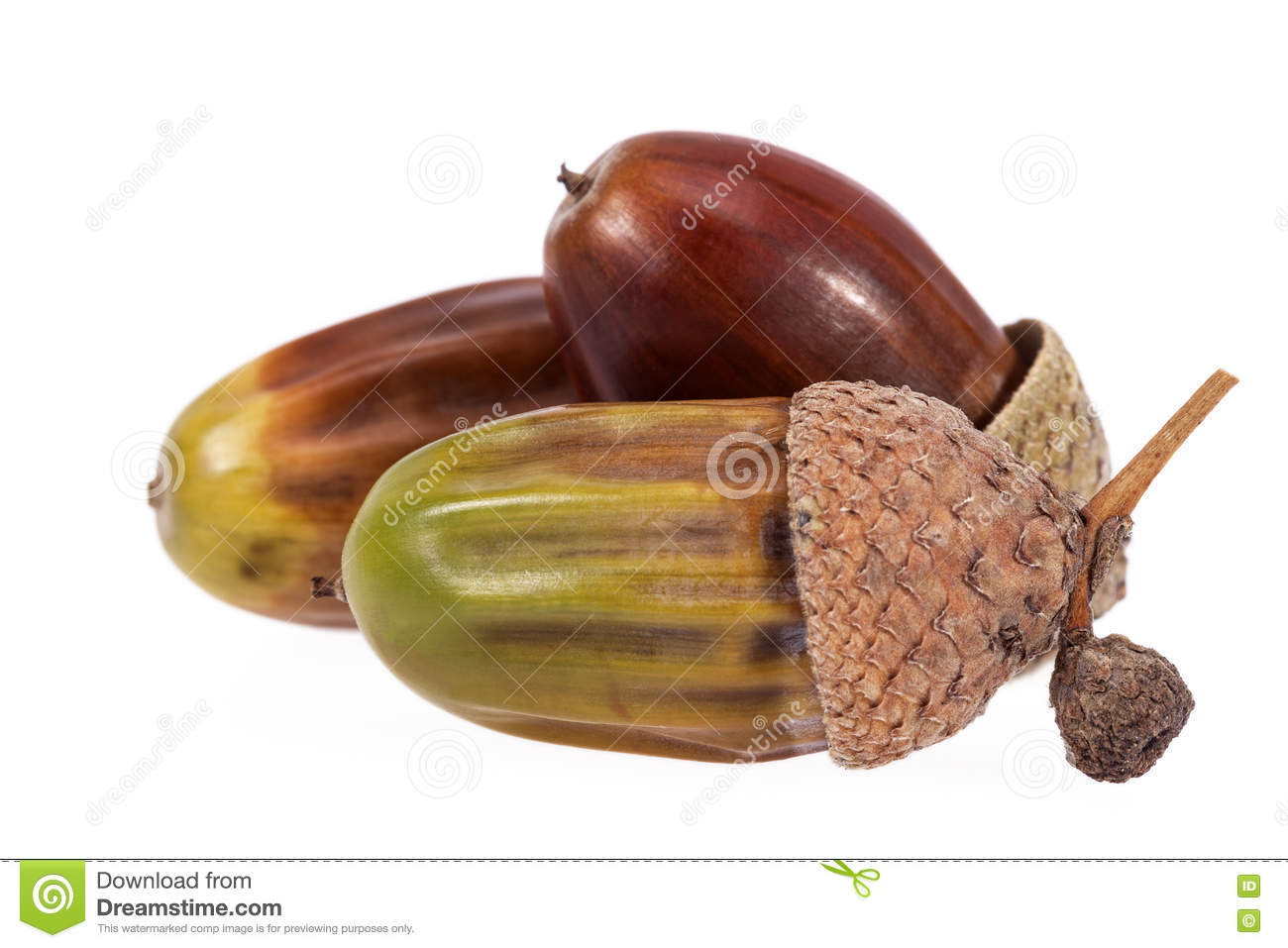 Oak Tree Fruit Part - 16: Royalty-Free Stock Photo