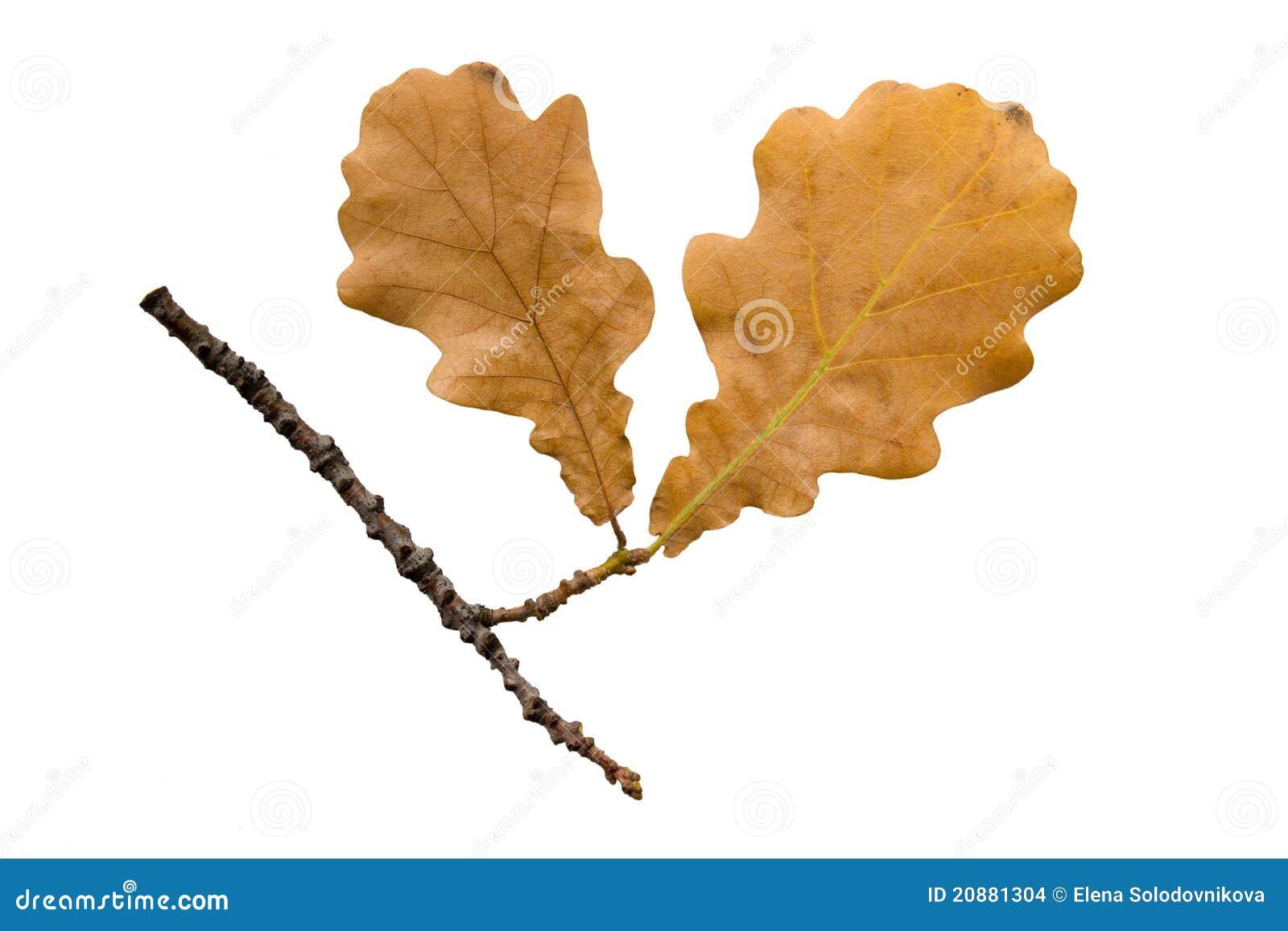 The Autumn Oak Twig On White Stock Images - Image: 20881304