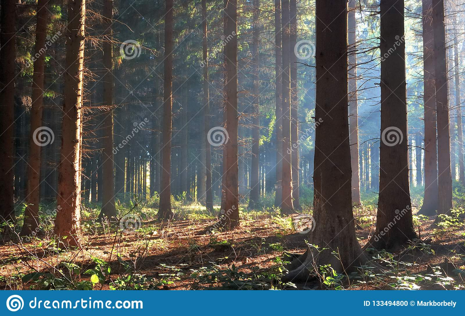 Autumn Pine Forest with sunshine in Bakony Mountain, Hungary