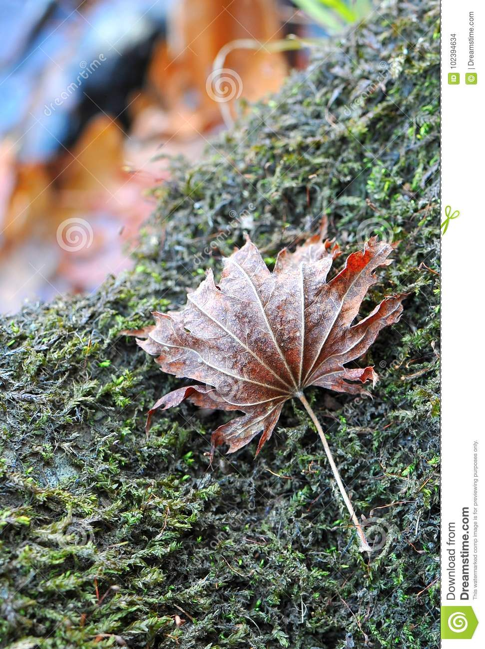 The Autumn Red Maple Leaf Lies On The Stone With Green Moss