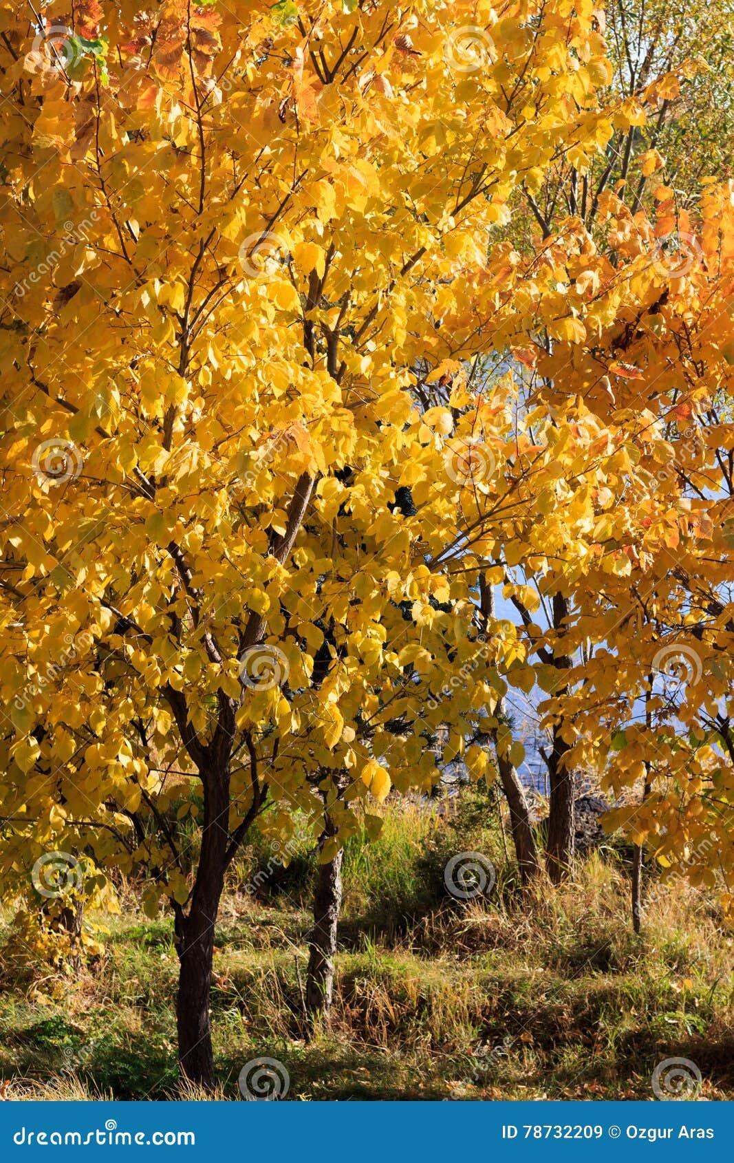 Autumn Season, träd och gulingsidor
