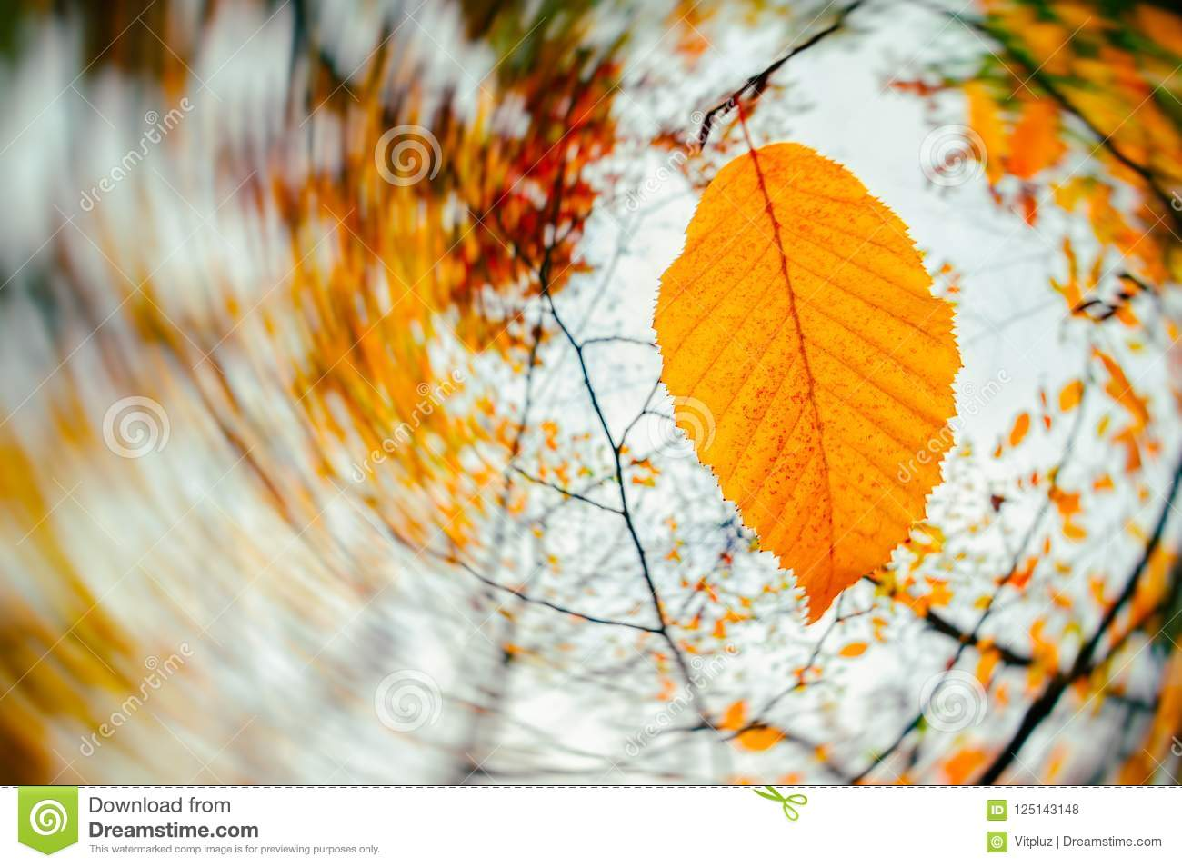 Autumn Season Wind Blowing Yellow Leaves Stock Photo Image Of Blow Season 125143148