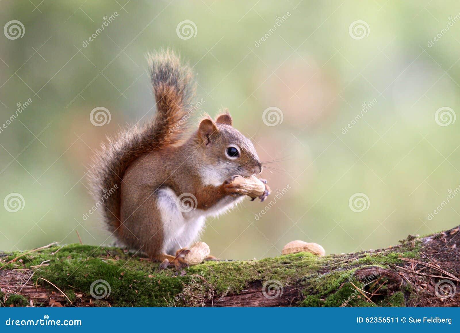 autumn squirrel mit einer nuss stockfoto bild 62356511. Black Bedroom Furniture Sets. Home Design Ideas
