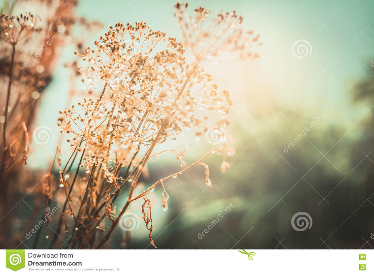 Autumn sunset landscape nature background. Dried flowers with water drops after the rain