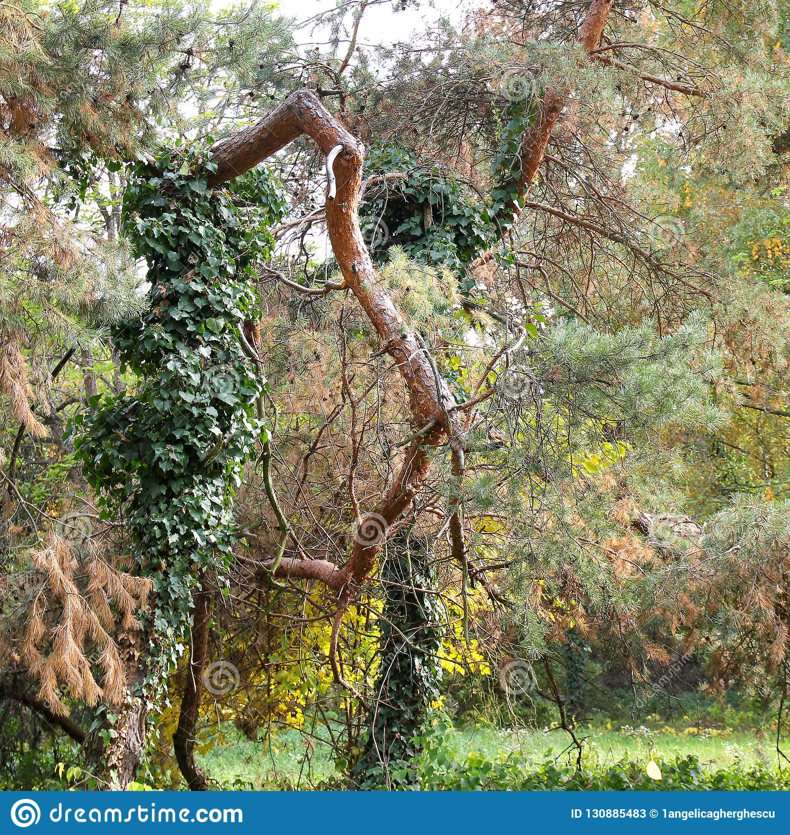 Autumn contorted tree trunk at botanical garden Macea, Arad County - Romania