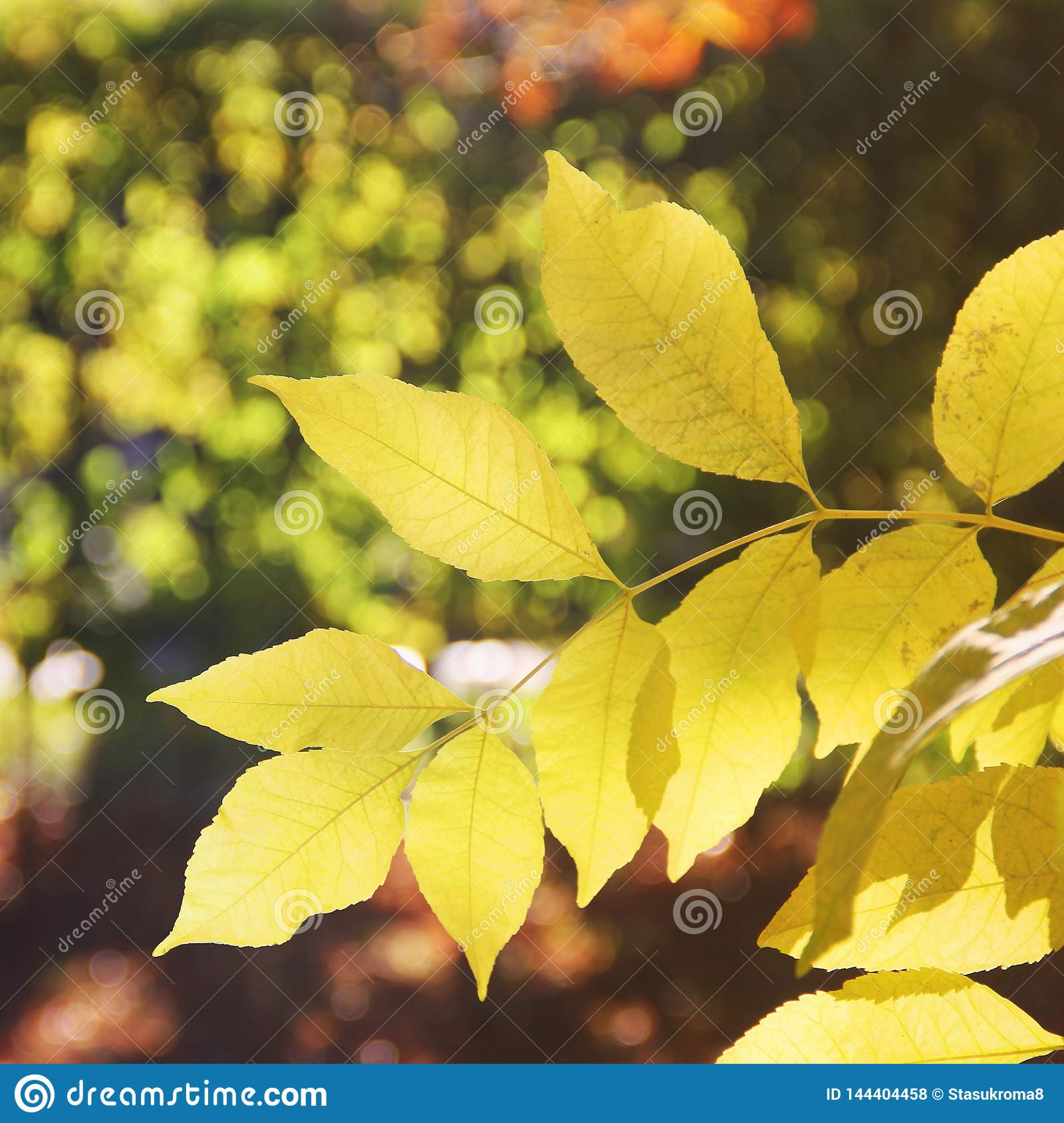 Yellow leaves on a tree. Beautiful autumn