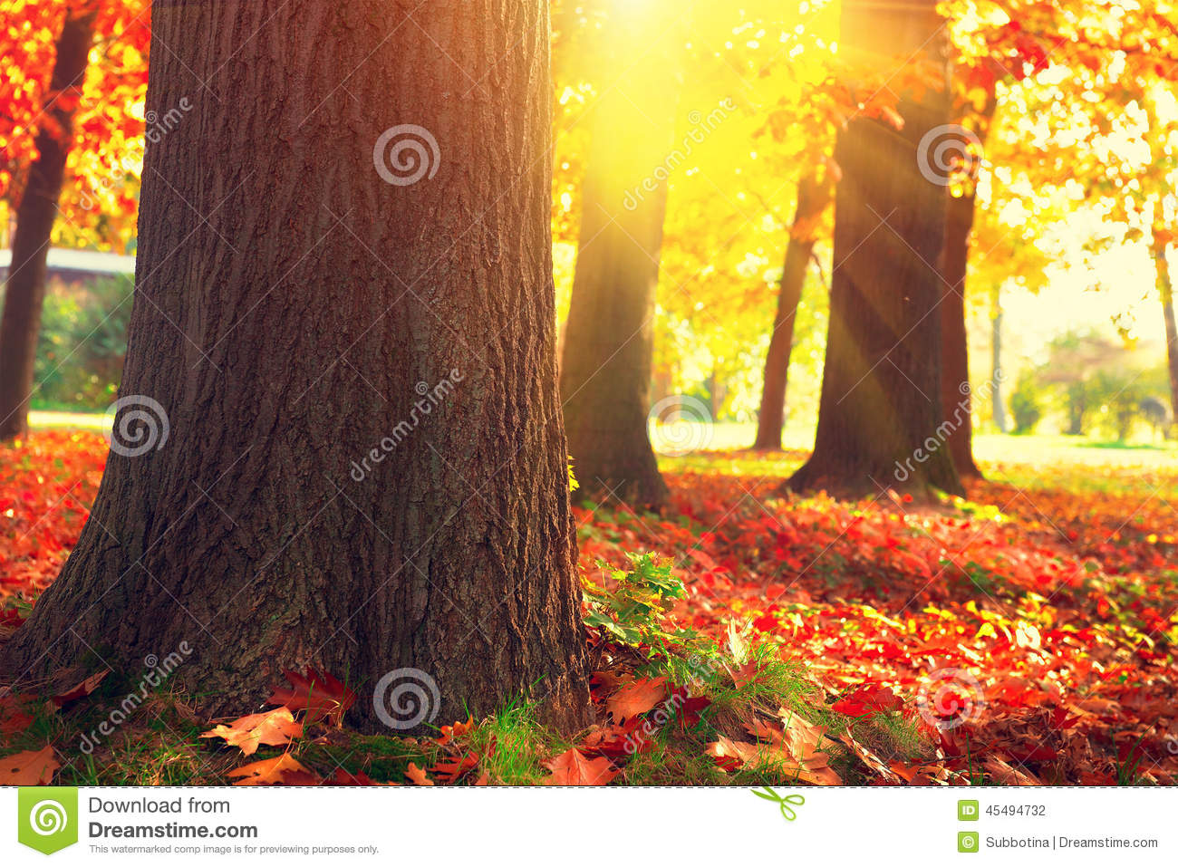 Download Autumn Trees And Leaves In Sun Light Stock Photo - Image of evening, photo: 45494732