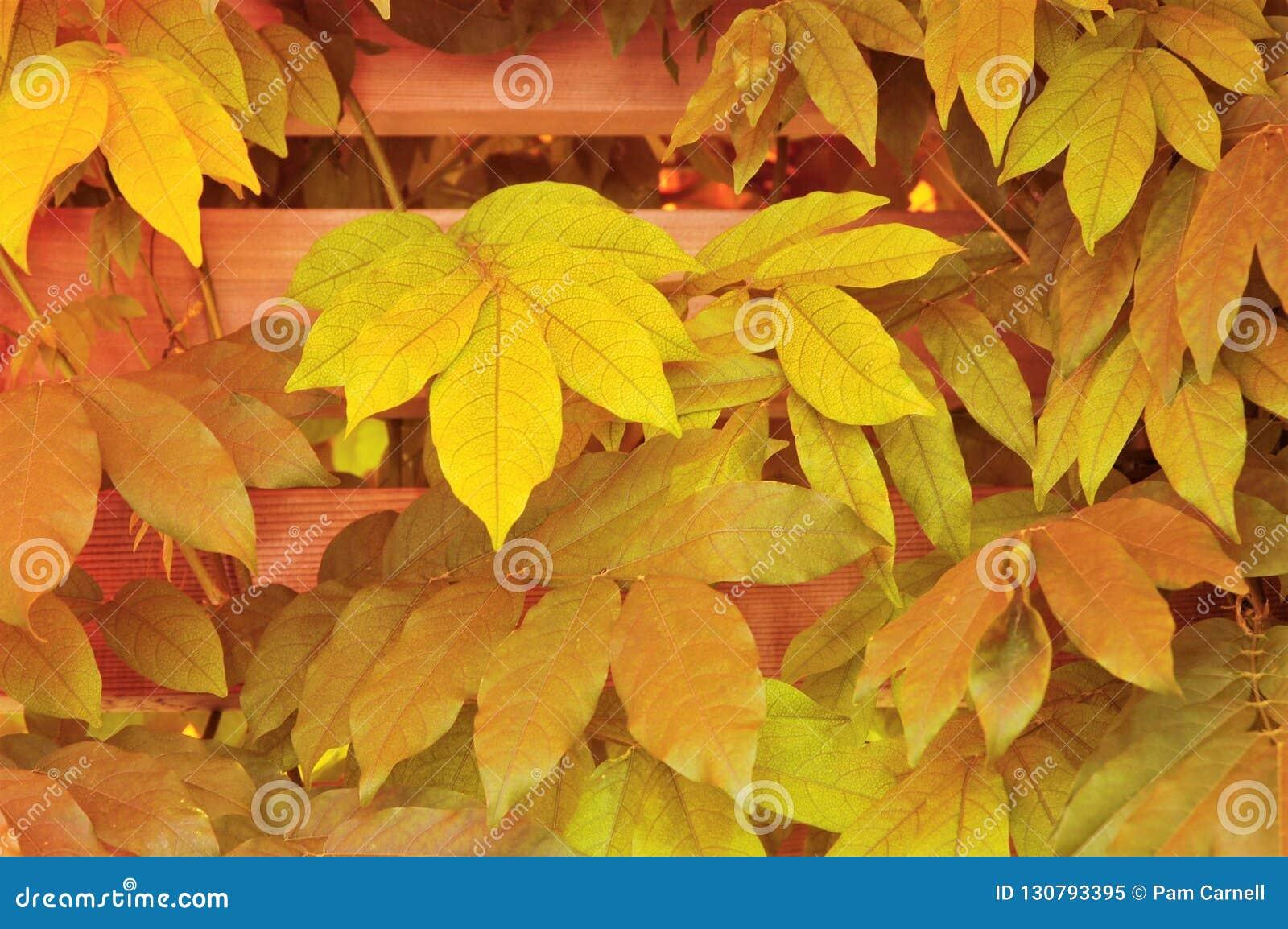 Autumn Virginia Creeper na cerca
