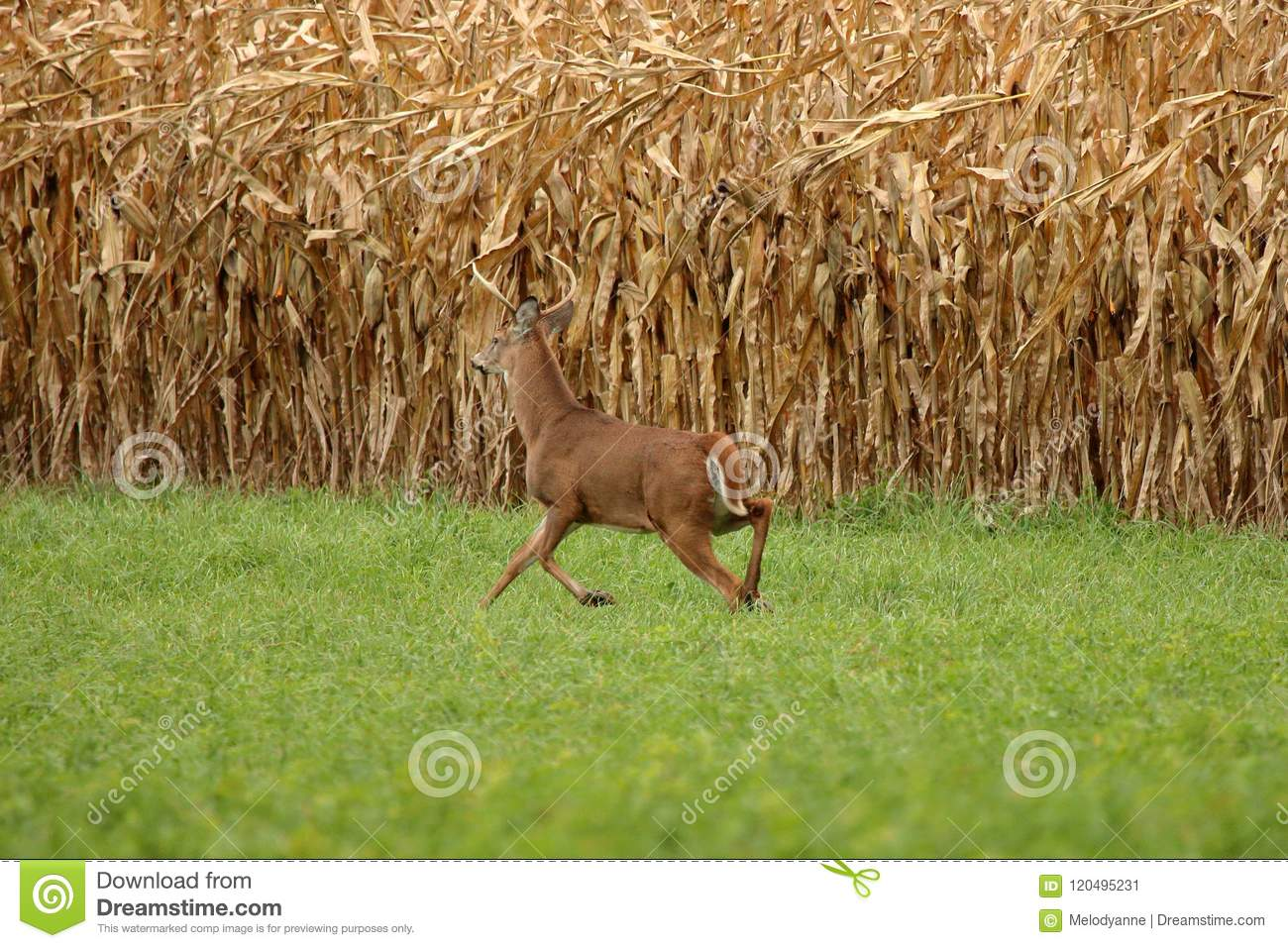 Autumn Whitetail Buck
