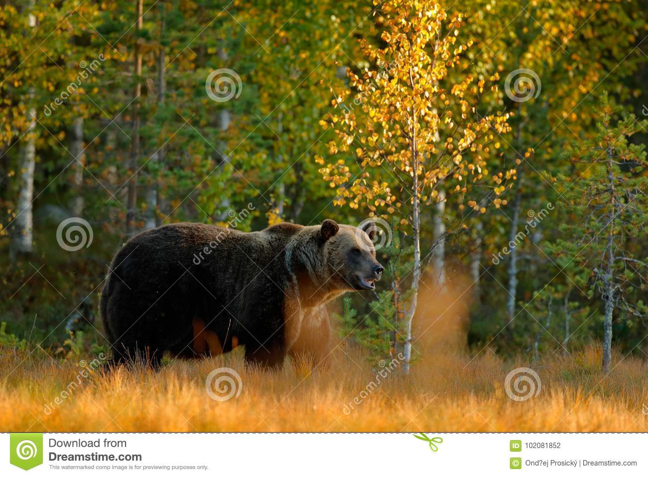 Autumn wood with bear. Beautiful brown bear walking around lake with autumn colours. Dangerous animal in nature meadow habitat. Wi
