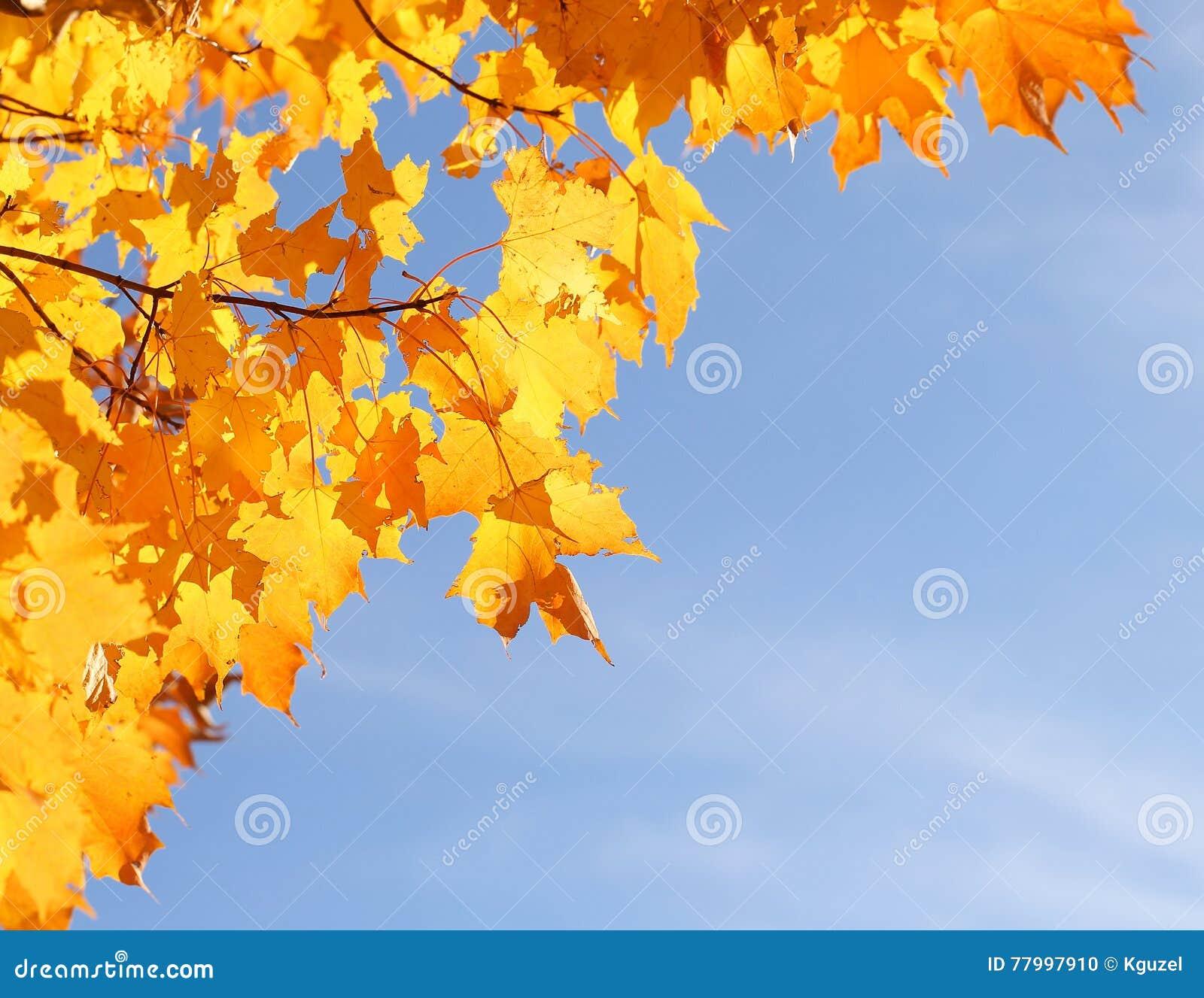 Autumn Yellow Maple Leaves over Blauwe Hemel