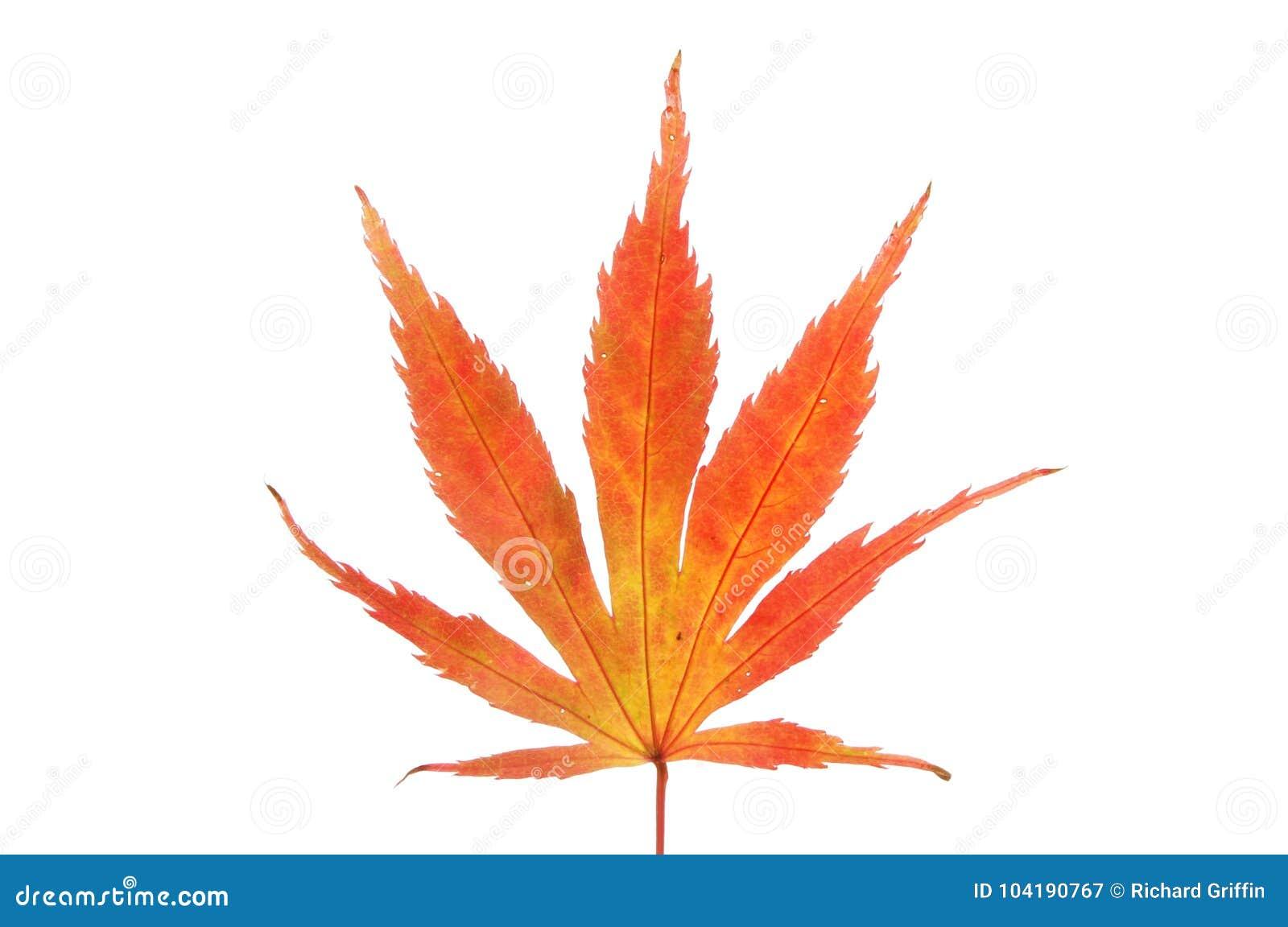 Autumnal acer leaf