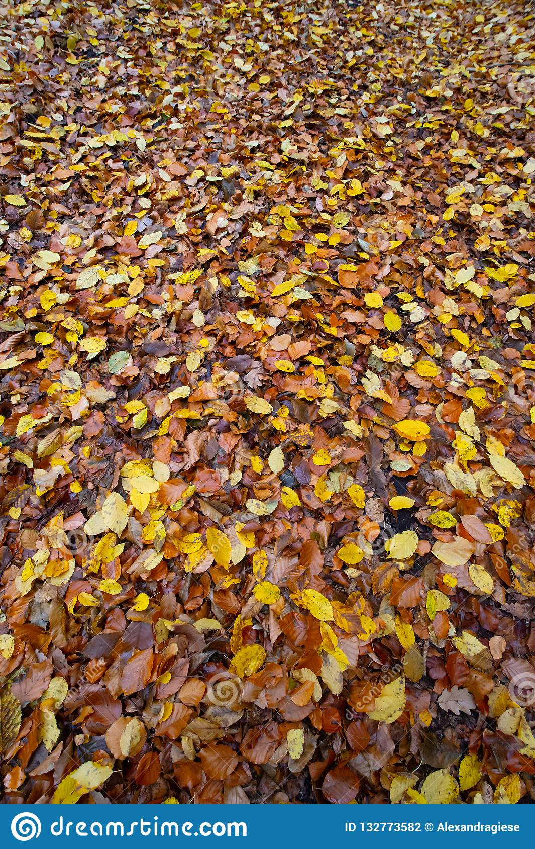 Autumnal colored beech leaves fallen on the forest floor