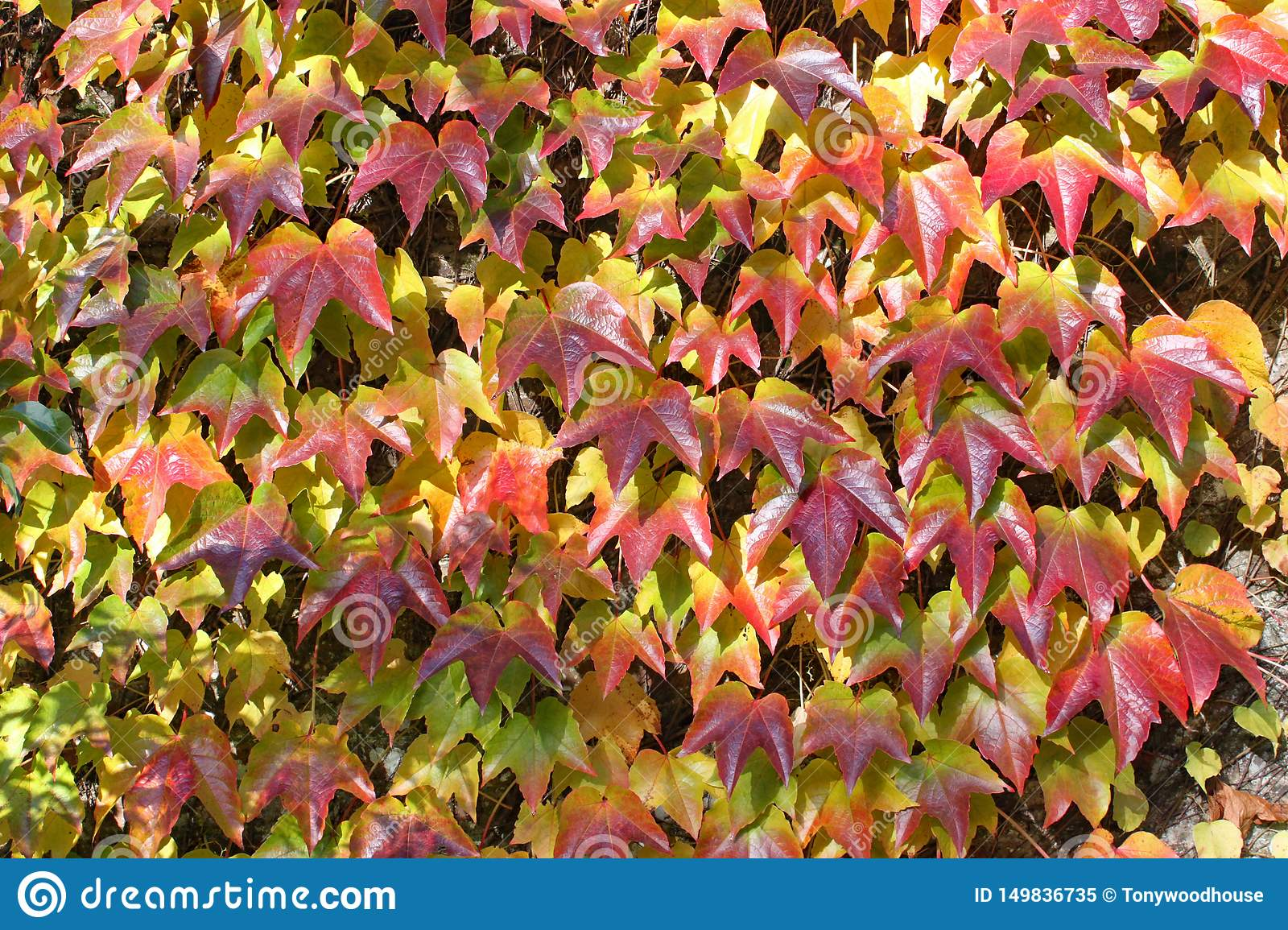 He autumnal colours of ivy groing up a wall at Arley Arboretum in the Midlands in England