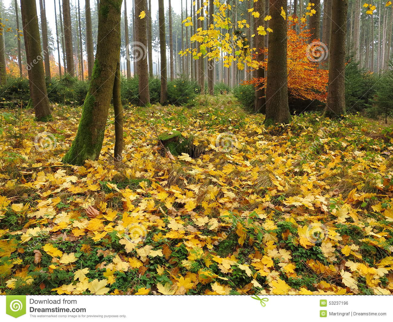 Autumnal Maple Tree Forest Floor Stock Photo Image 53237196