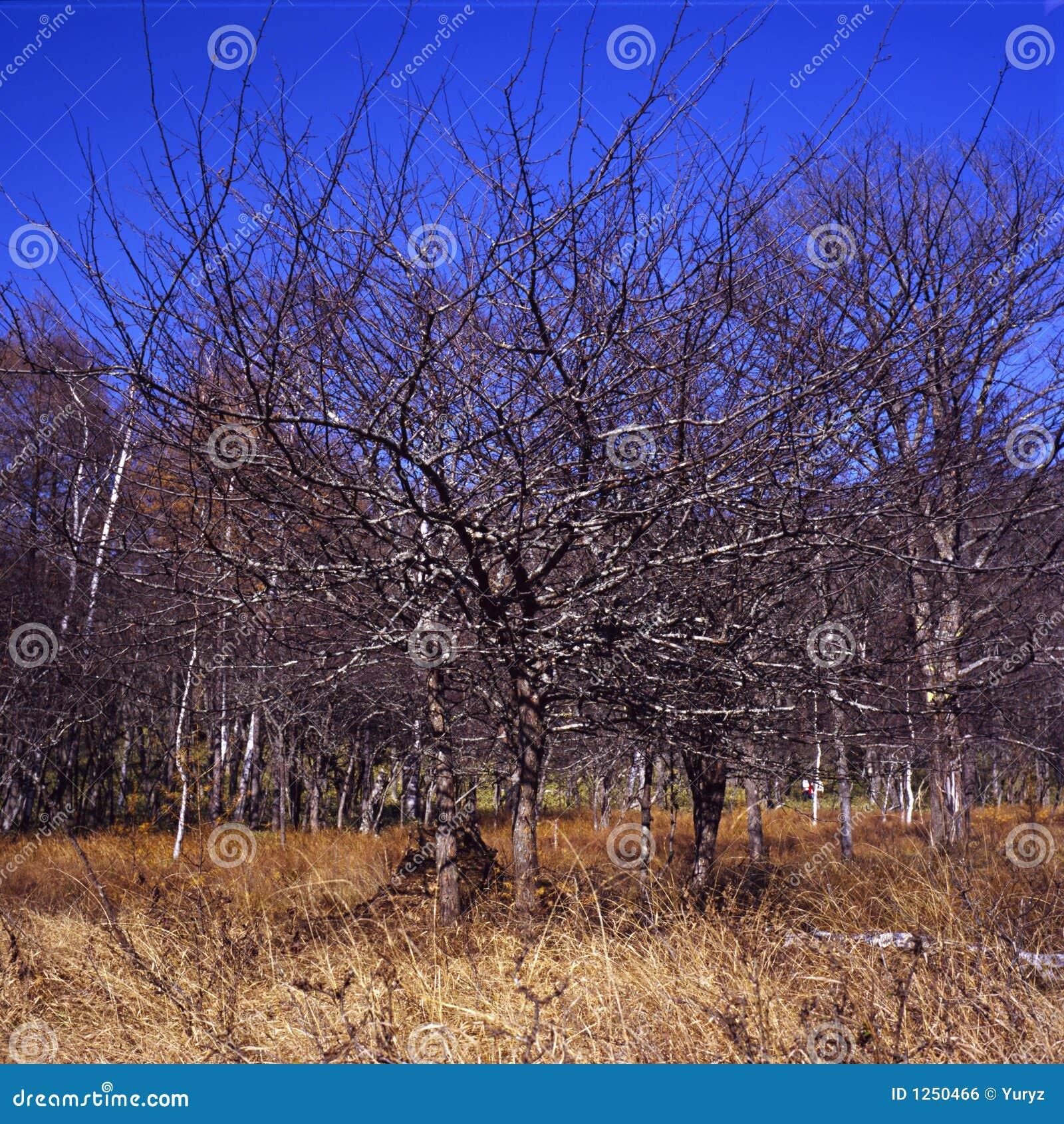 Autumnal wild-plum trees