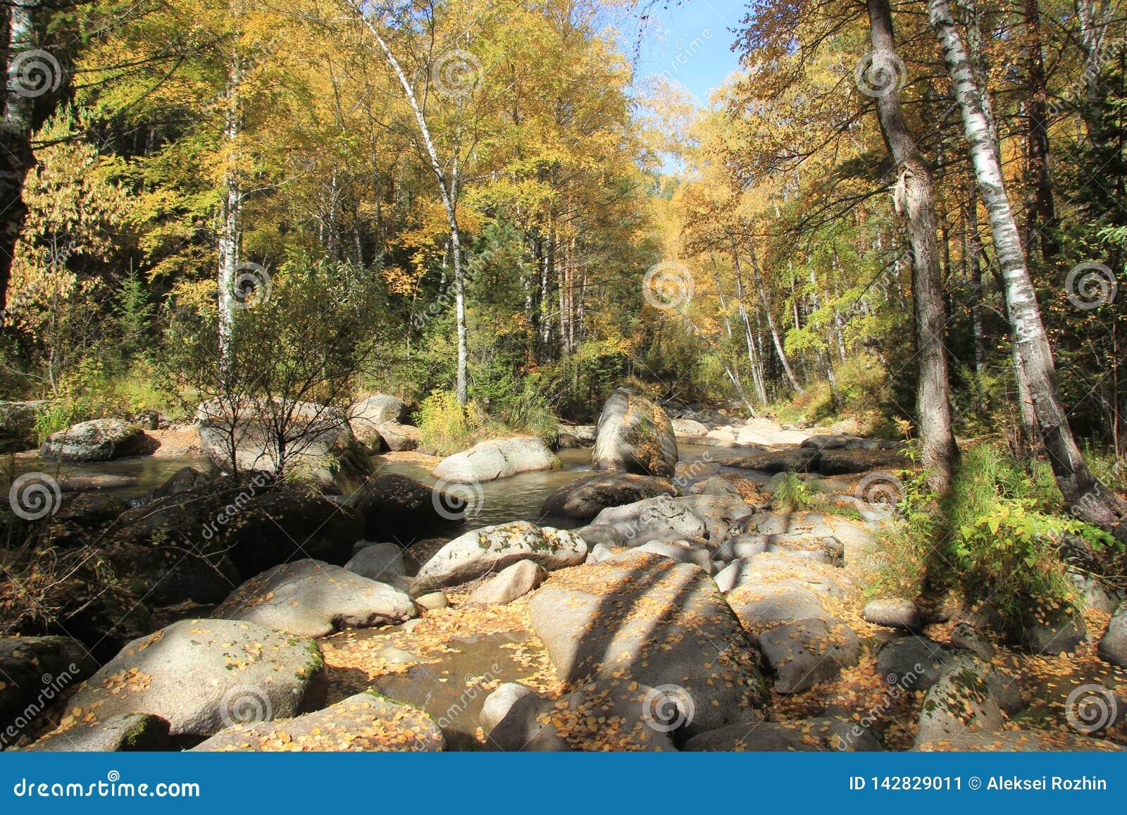 Autunno dorato nella regione di Altai in Russia Bello paesaggio - strada nella foresta di autunno